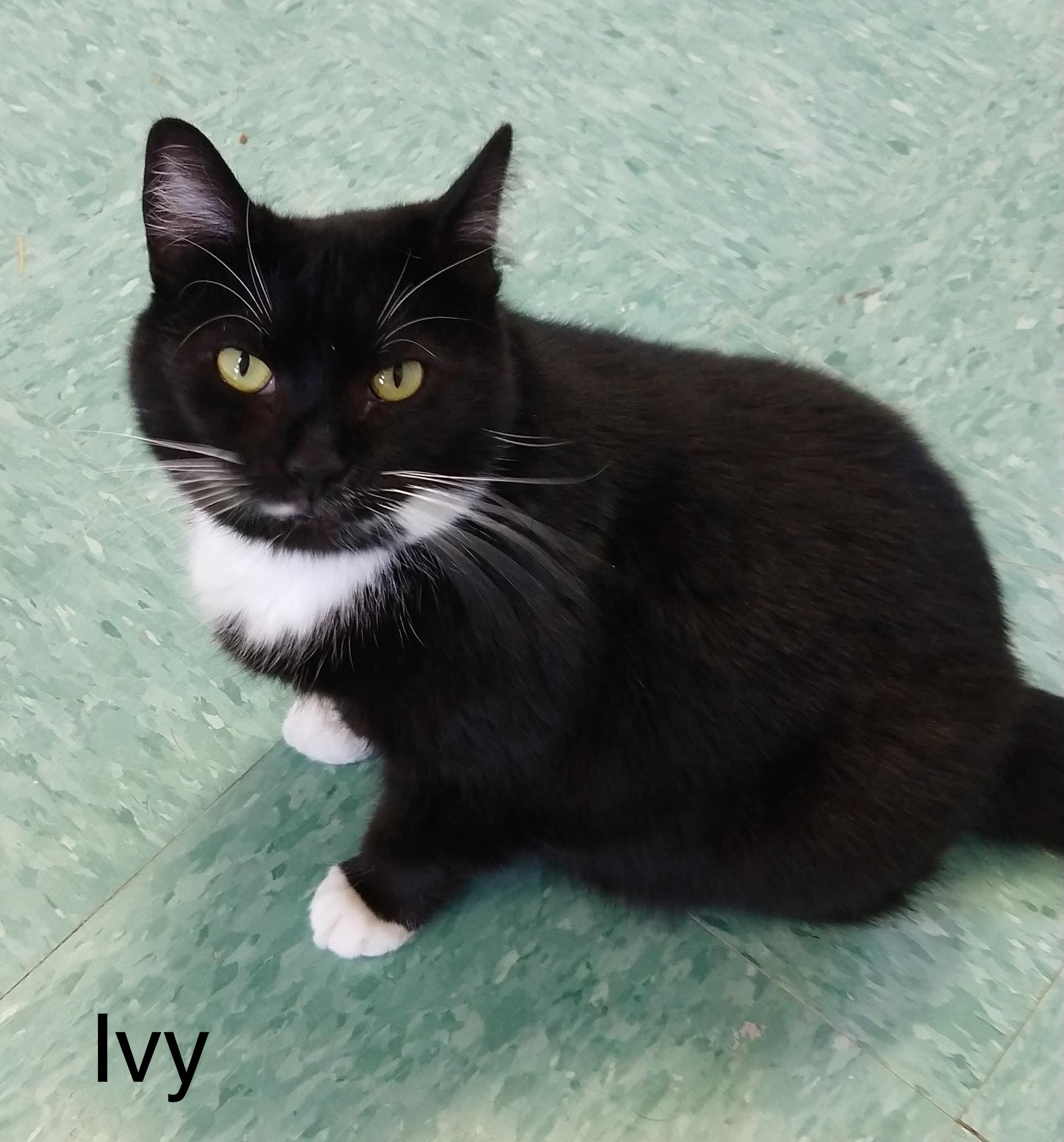 Ivy - Domestic Short Hair