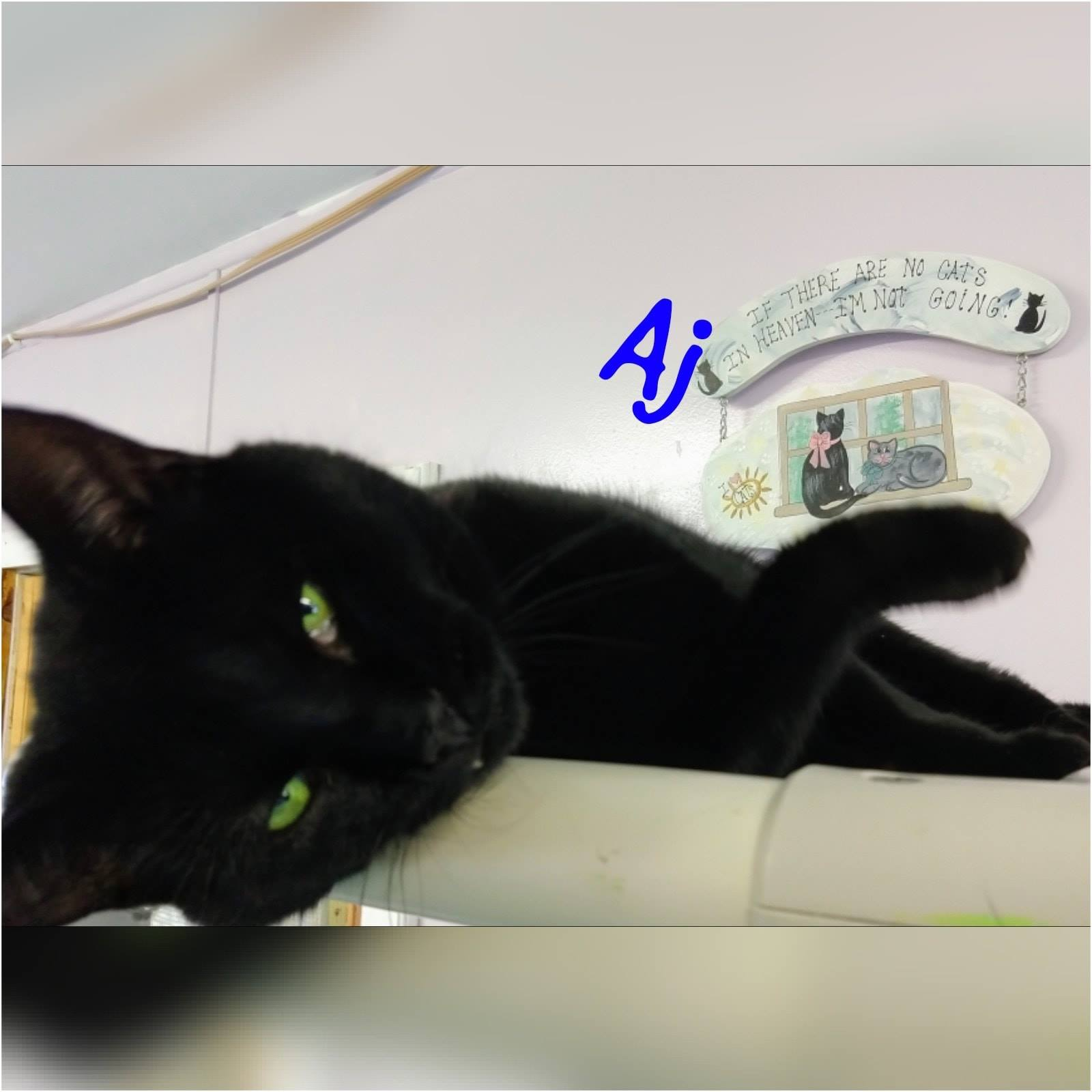 AJ | Medium Adult Male Domestic Short Hair