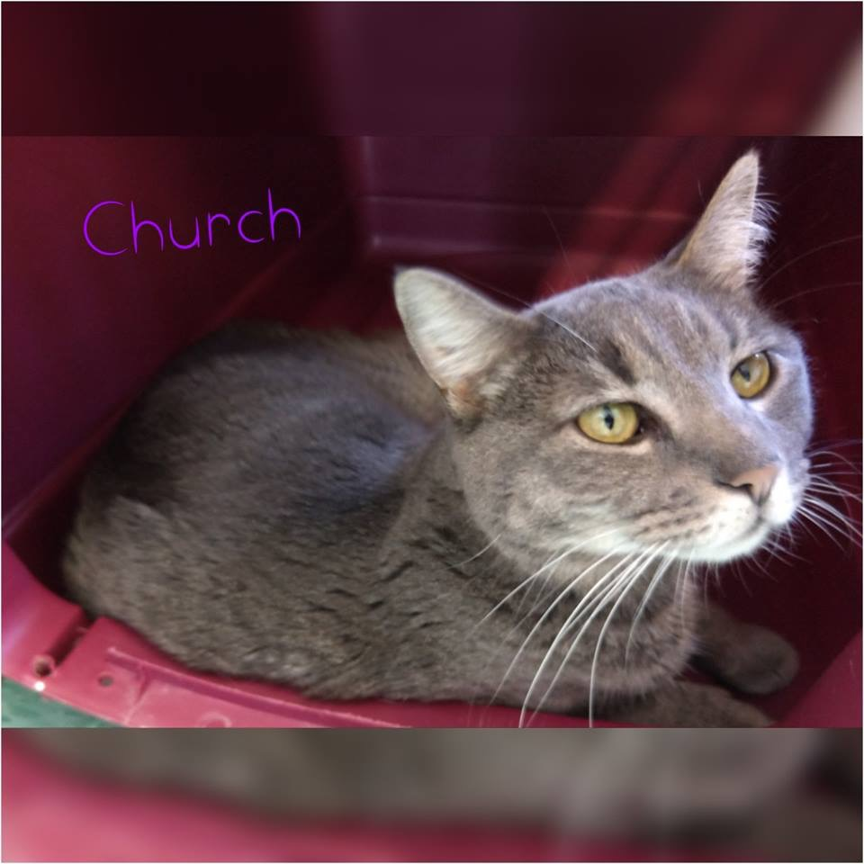 Church - Domestic Short Hair