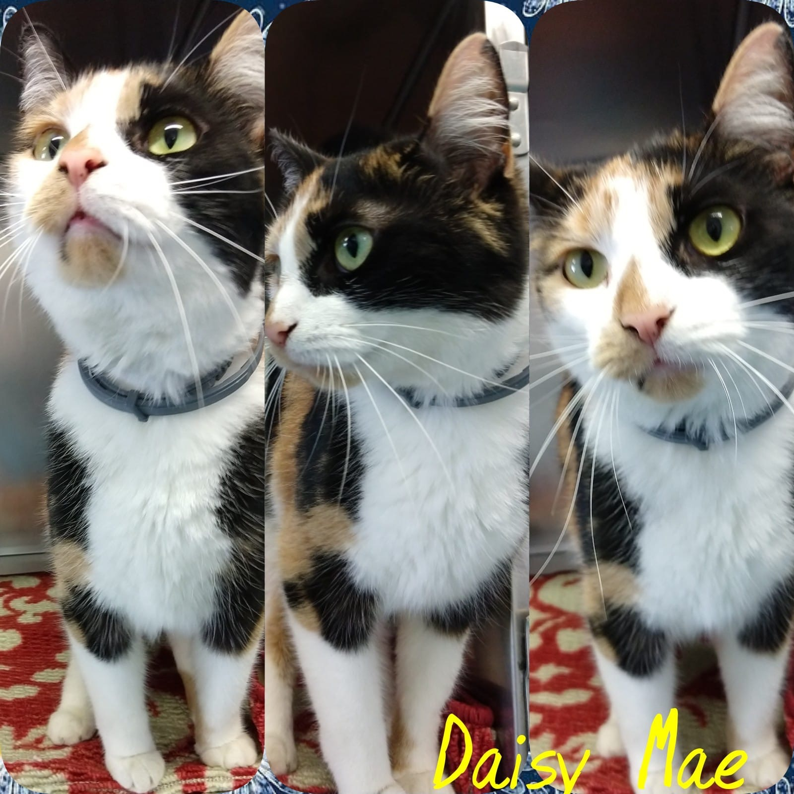 Daisy Mae - Domestic Short Hair