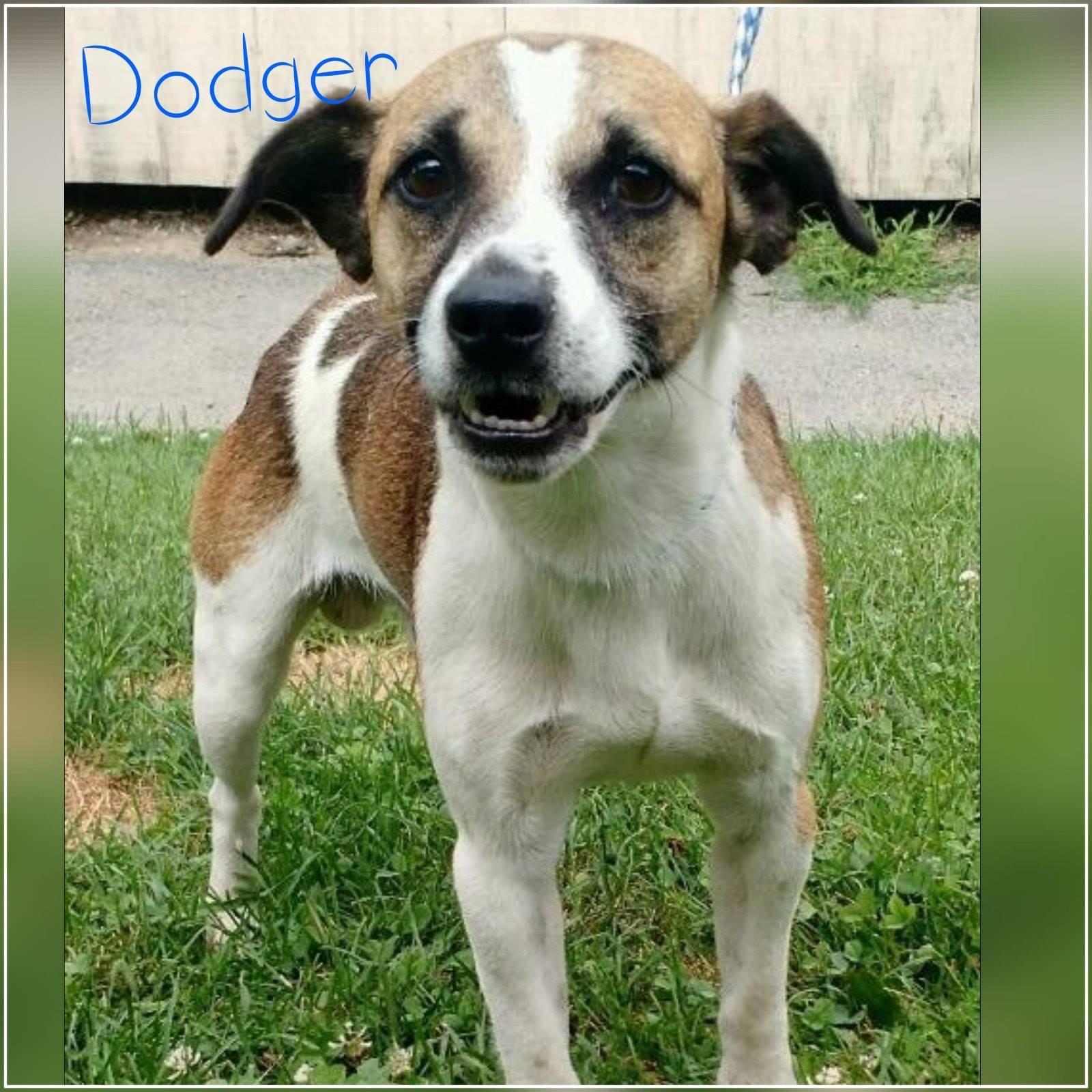 Dodger - Jack Russell Terrier Mix