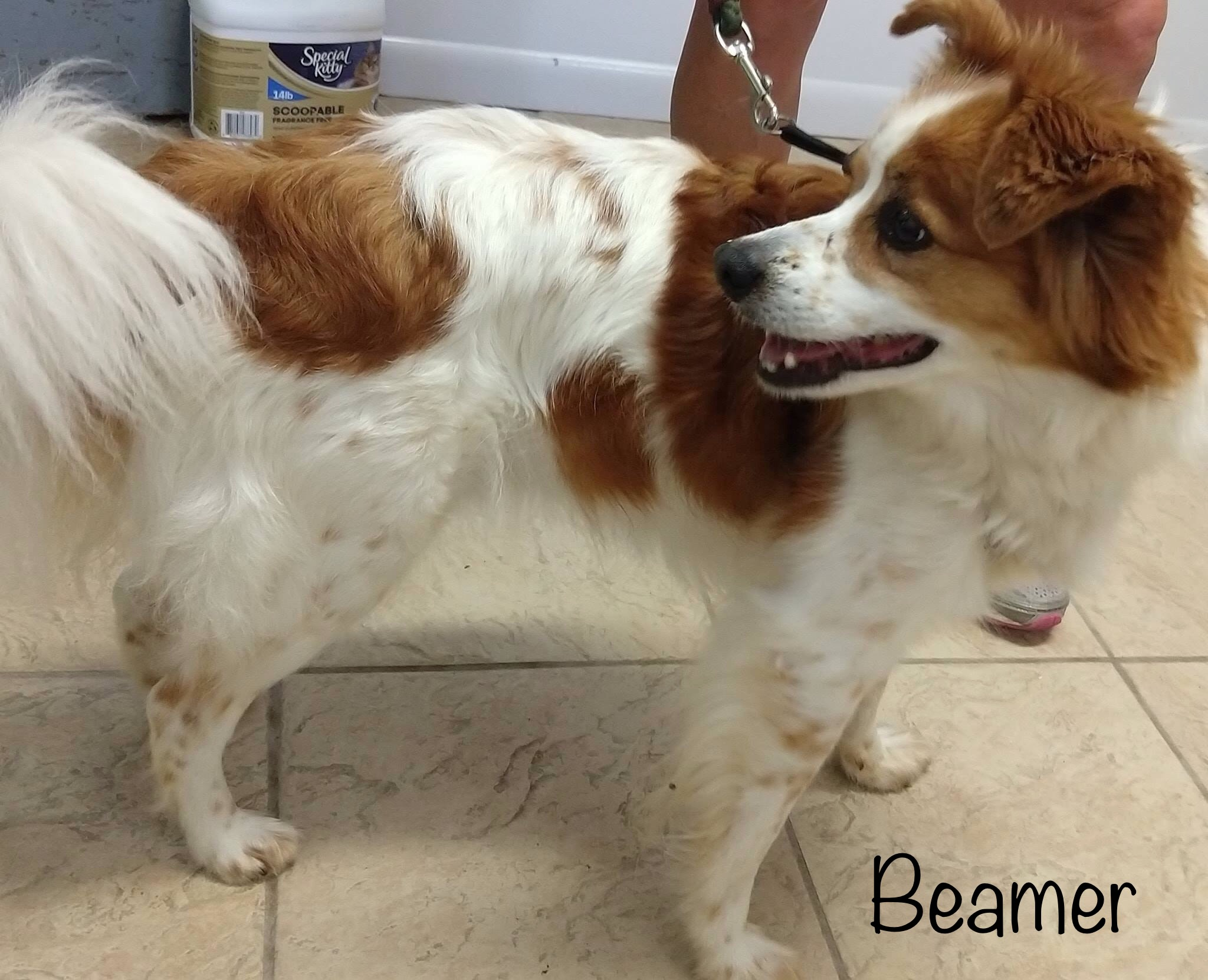 Beamer - Papillon & Spaniel Mix