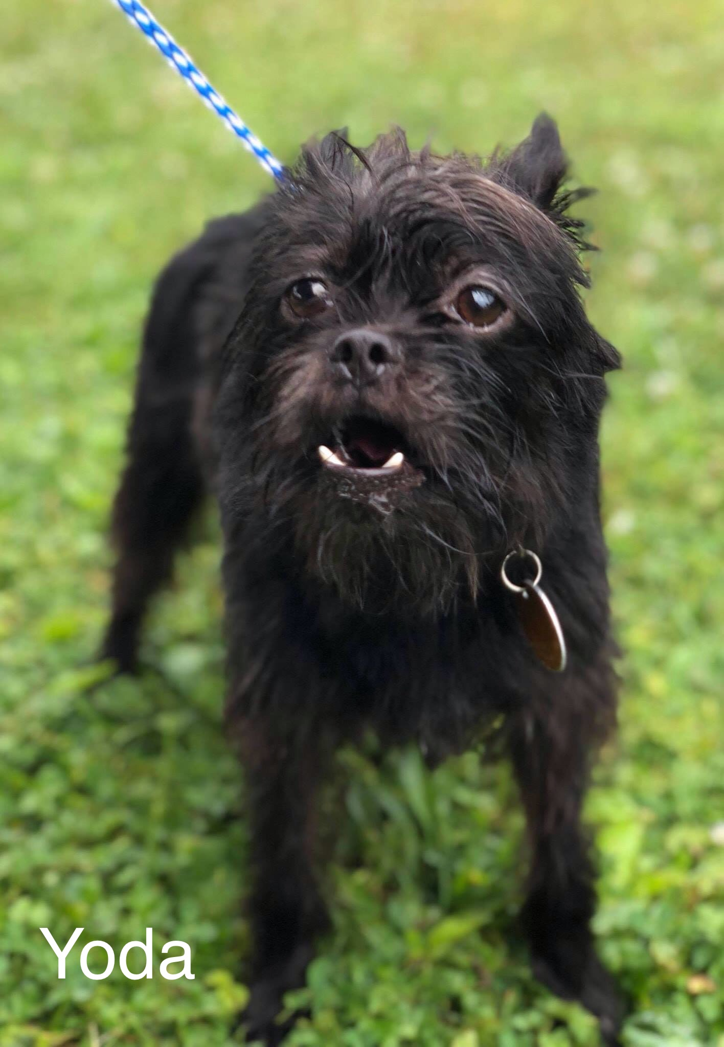 Yoda - Brussels Griffon Mix