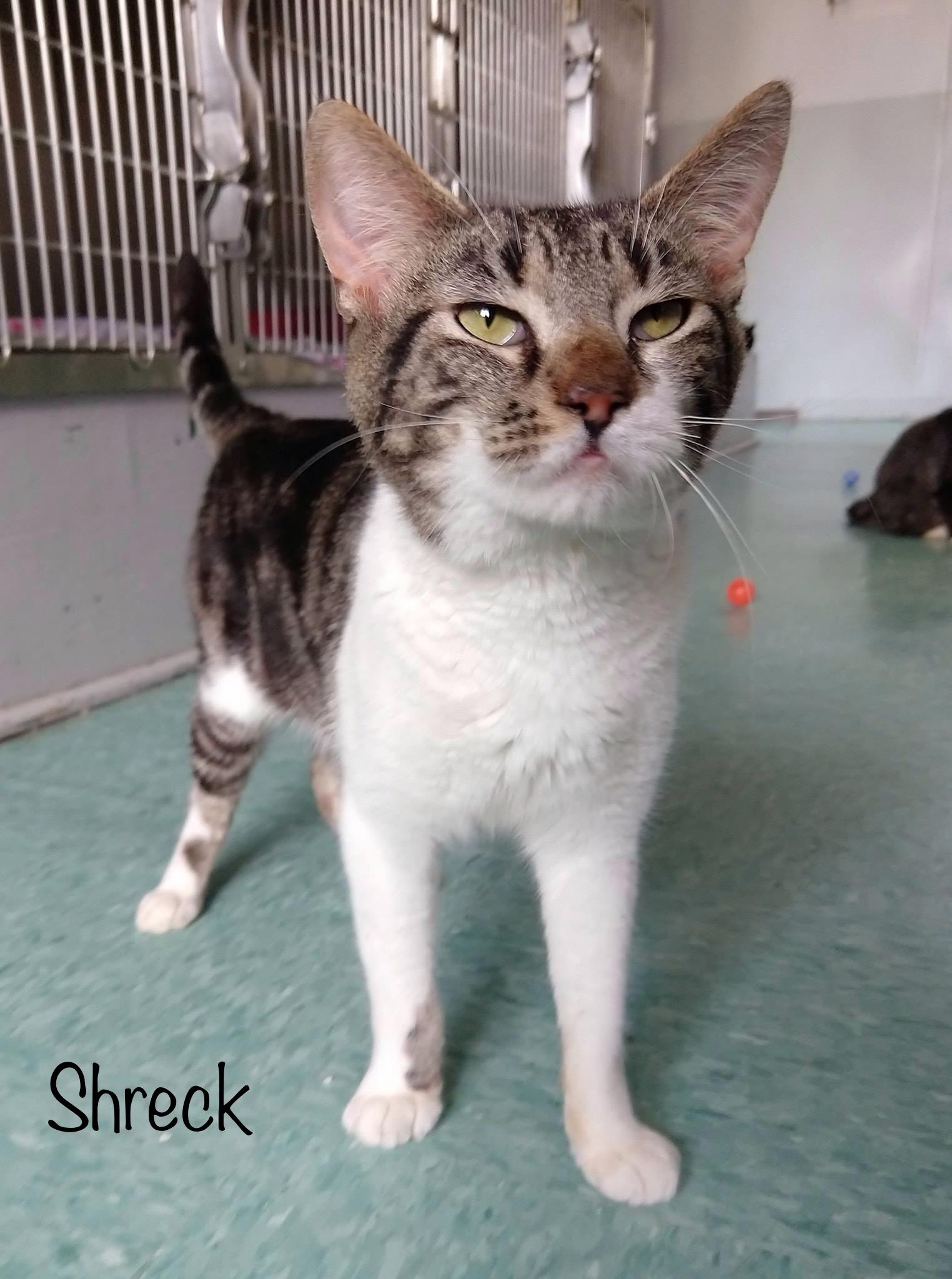 Shreck - Domestic Short Hair