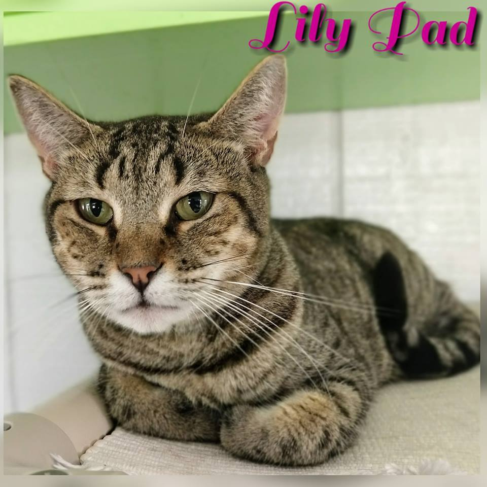 Lily Pad - Domestic Short Hair