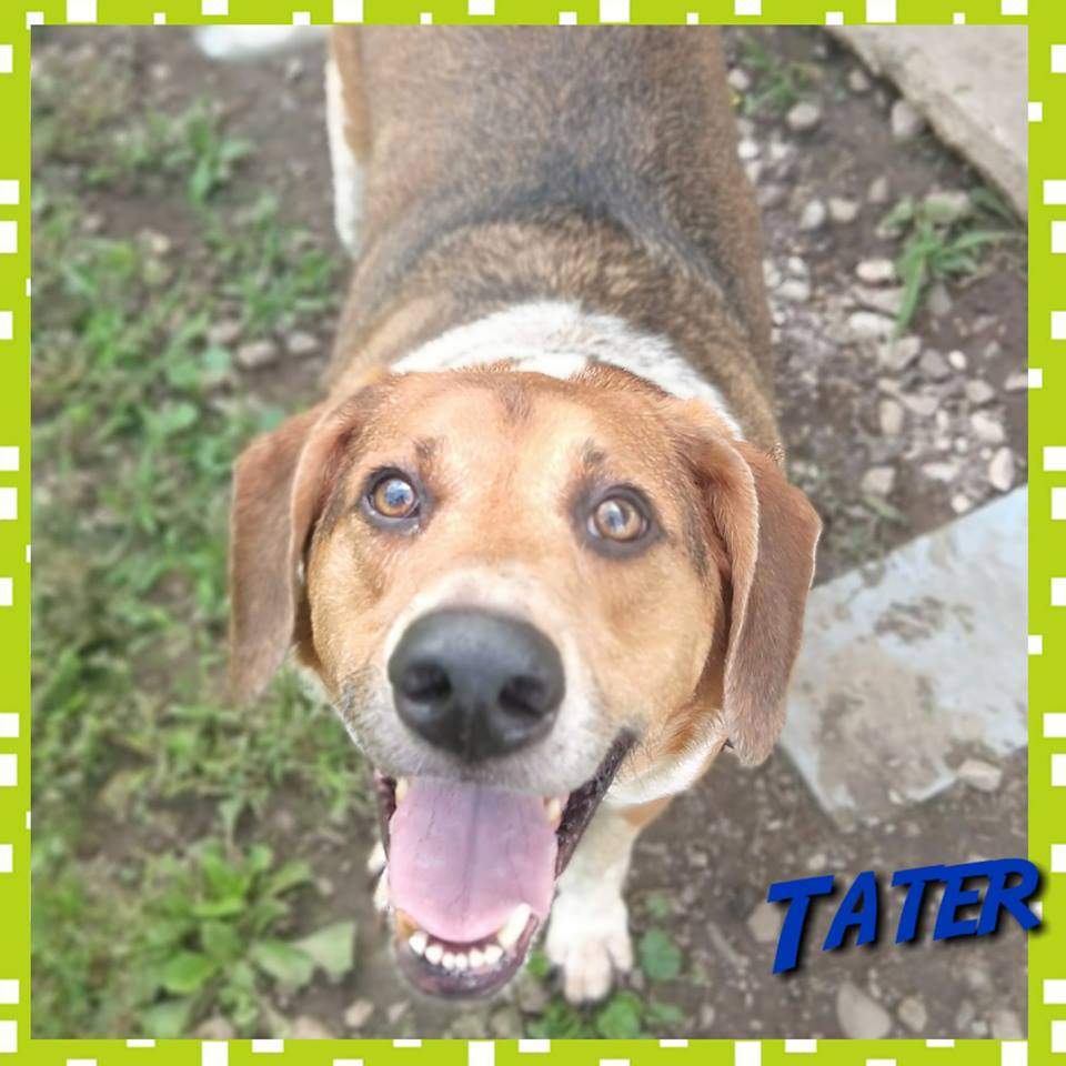 Tater | Medium 5 Years Male Beagle