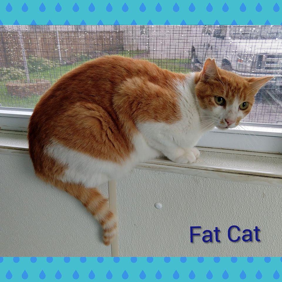 Fat Cat - Domestic Short Hair