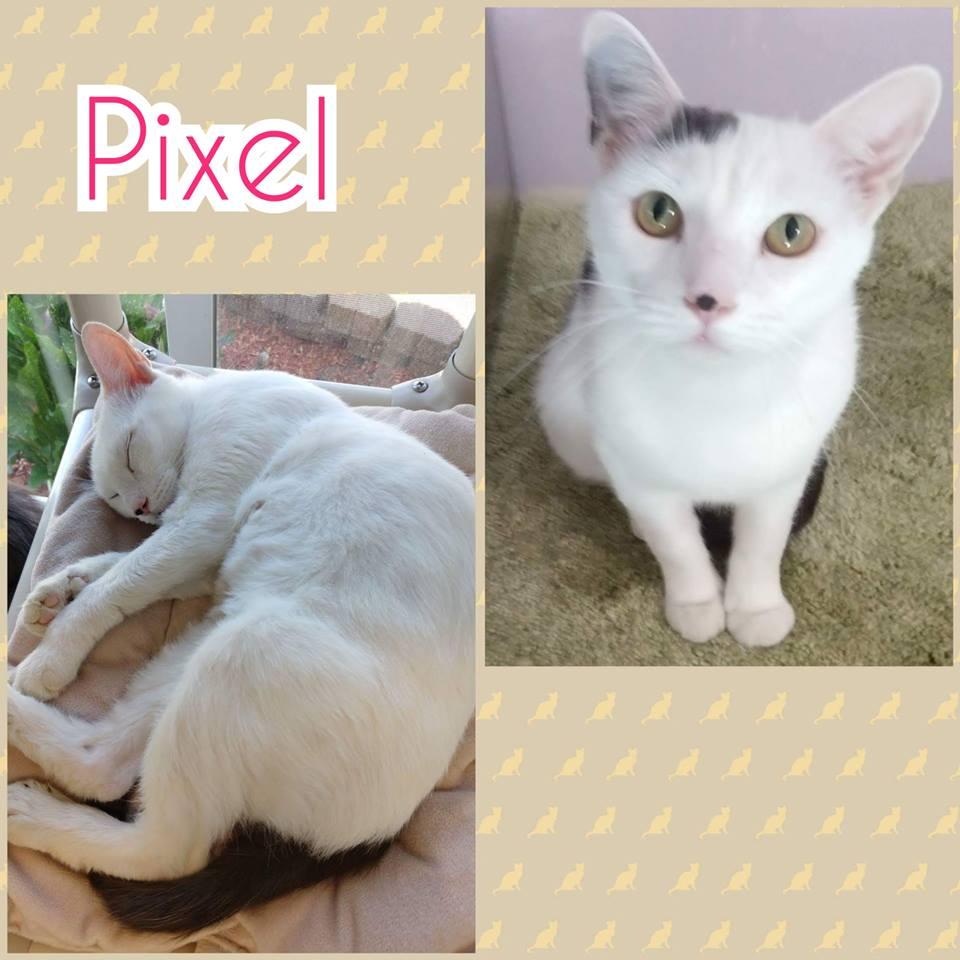 Pixel | Medium 1 Year Female Domestic Short Hair