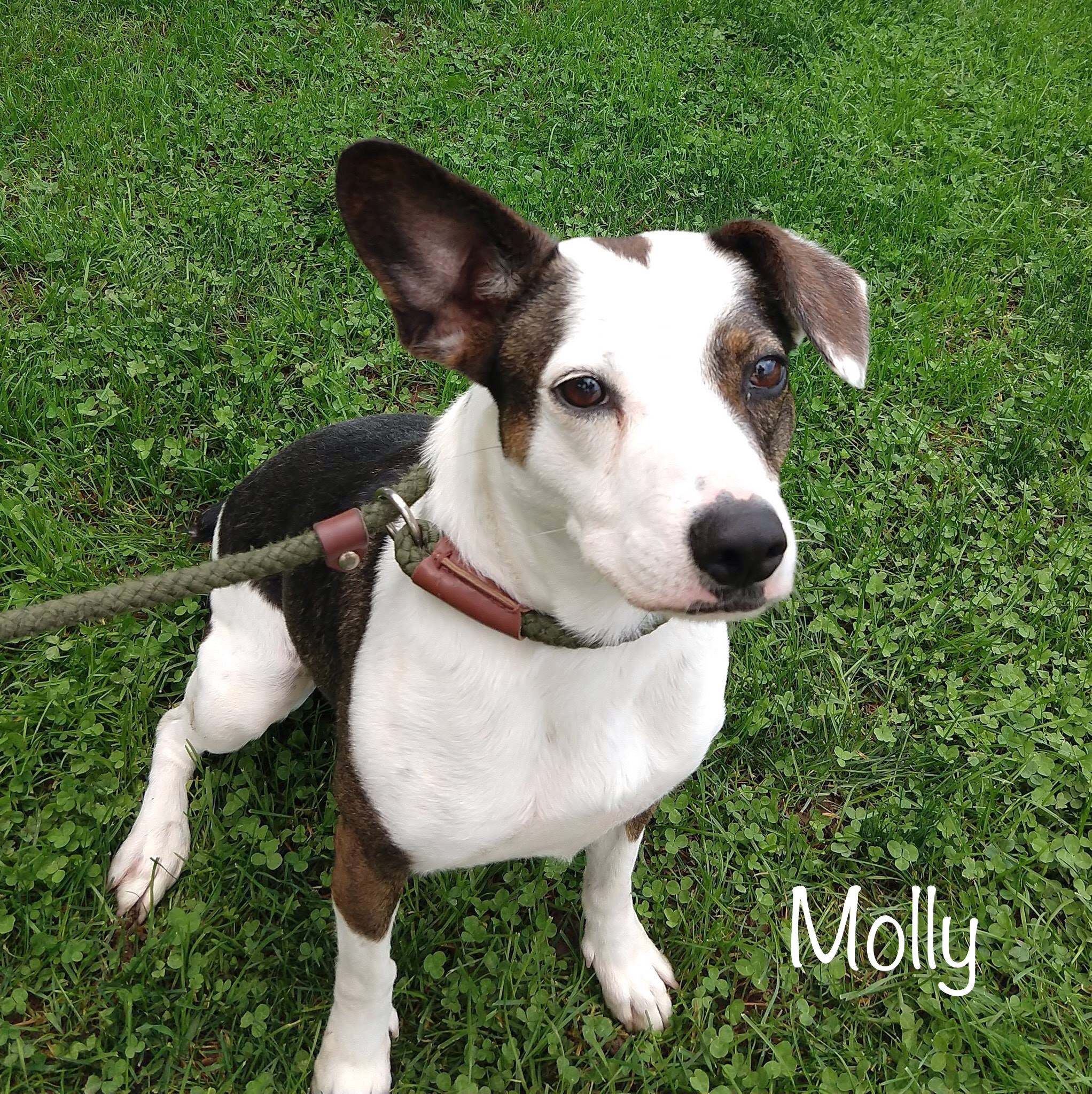 Molly - Cattledog Mix