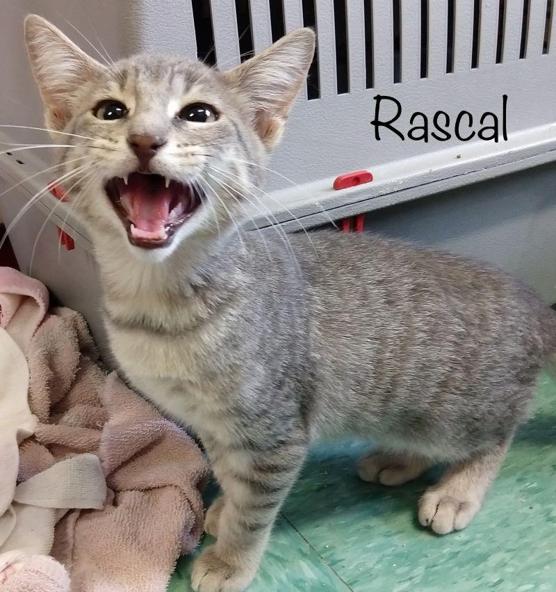 Rascal - Domestic Short Hair