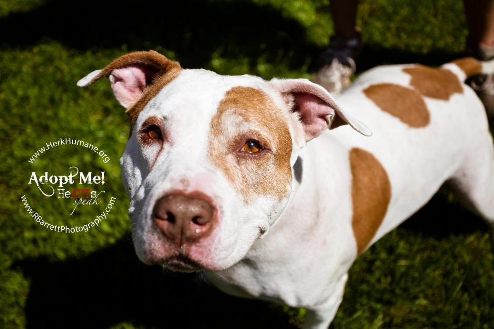 Dagwood - Pit Bull Terrier Mix