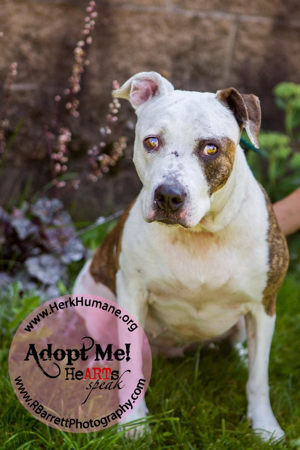 Aimee - American Staffordshire Terrier