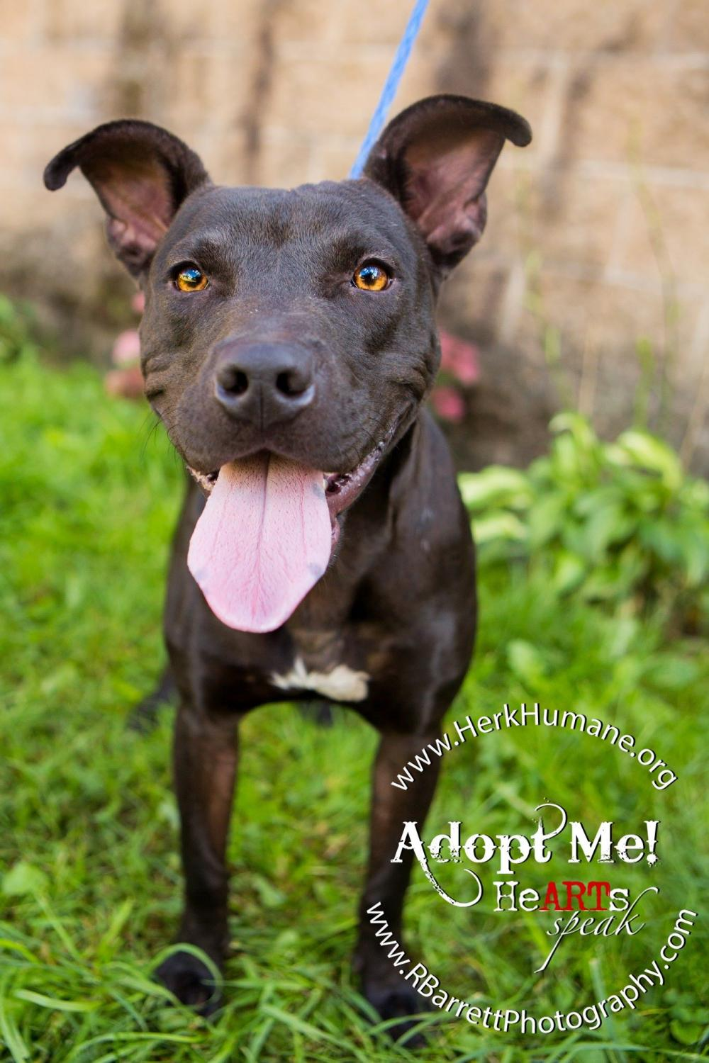 Tonic - American Staffordshire Terrier