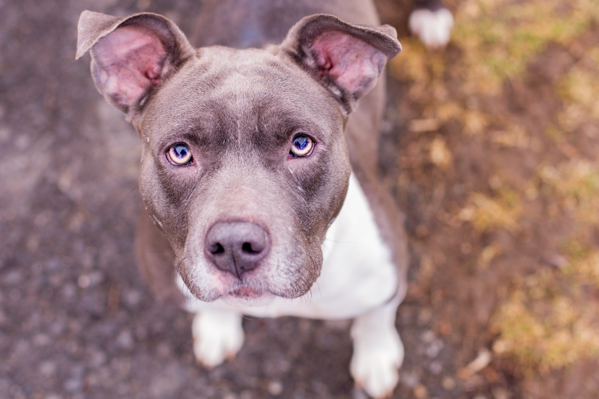 Roxie - Pit Bull Terrier Mix