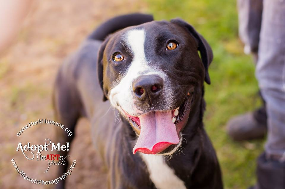Riddle | Medium Adult Male Lab & Hound Mix