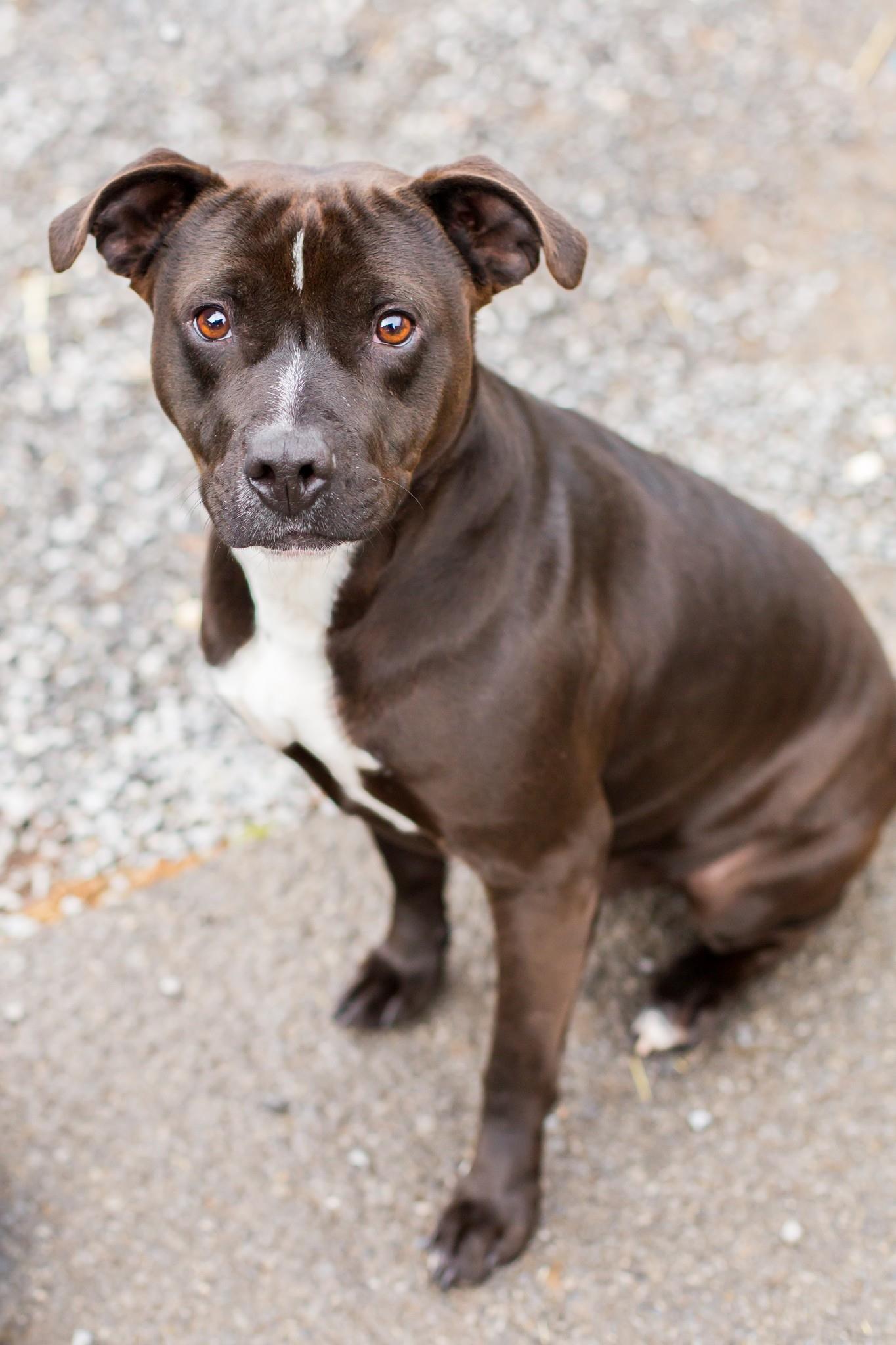 Merle - Pit Bull Terrier