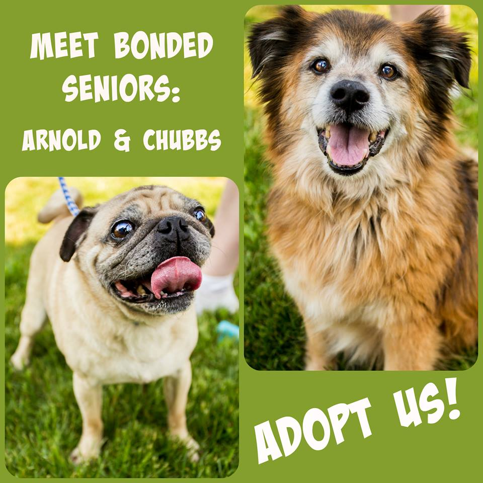 Arnold & Chubbs - Pug & Sheltie Mix