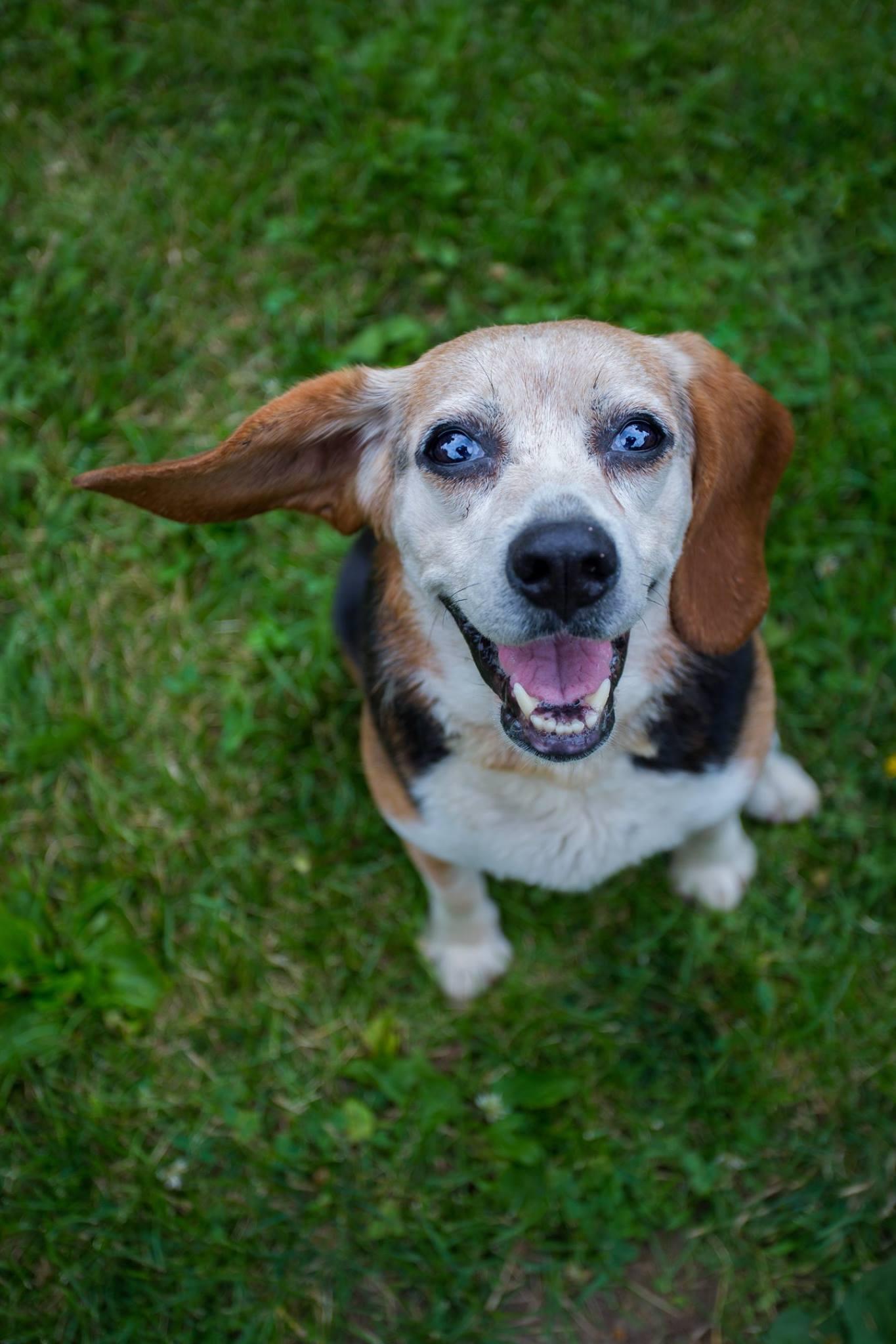 Lady - Beagle